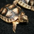 Marginated Tortoise For Sale In Southern California