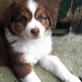 Miniature Australian Shepherd Puppies Adoption Advice