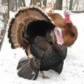 Narragansett Turkey