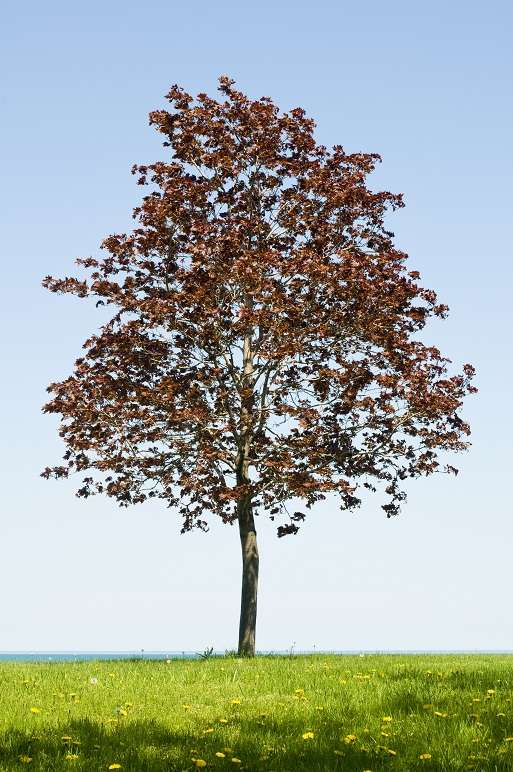 Lone Norway Maple