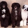 Portuguese Water Dog Adoption