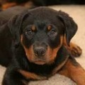 Rottweiler Puppies For Sale Northern California
