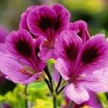 South African Hardy Pelargoniums