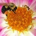 Swedish Flower Varieties & Swedish Flower Pollen Extract