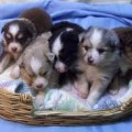 Toy Australian Shepherds