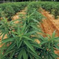 Traditional Indian Cannabis Cultivation