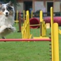 Training Australian Shepherds