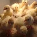 Turkey Hatchery