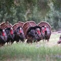 Turkey Hunting in Los Angeles County