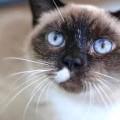 Turkish Van Tinkerbell Cats