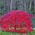 Weeping Japanese Maple