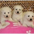 White German Shepherd Puppies
