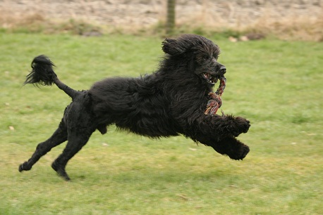 black portuguese water dogs
