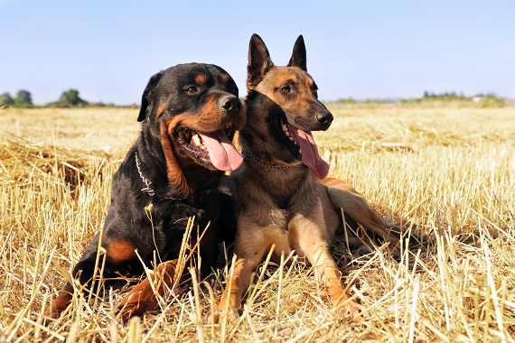 Compare Rottweiler and German Shepherd