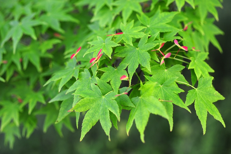 Japanese maple-4