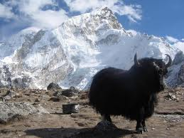 himalayan yak animals
