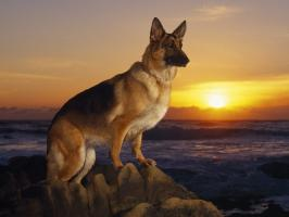 history of german shepherd wolf dogs