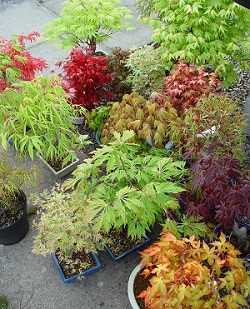 japanese maple tree varieties