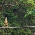 jungle bridge northern Thailand