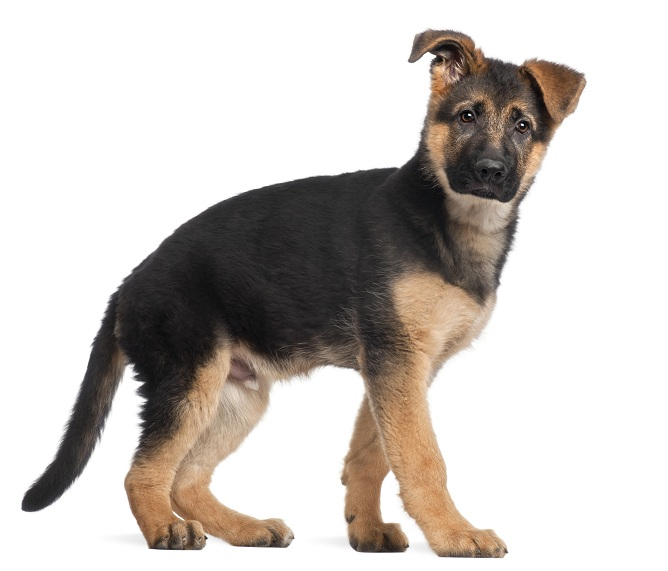 German Shepherd puppy, 3 months old, standing in front of white background
