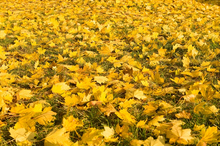 Autumn Maple Leaves Ground