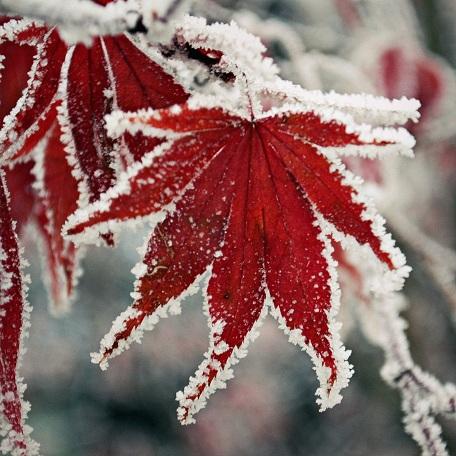Frozen-Maple