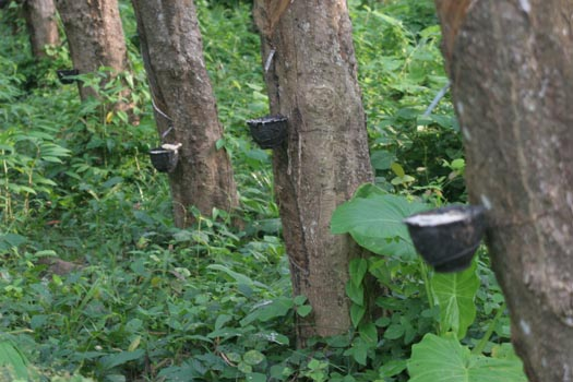 rubber trees thailand