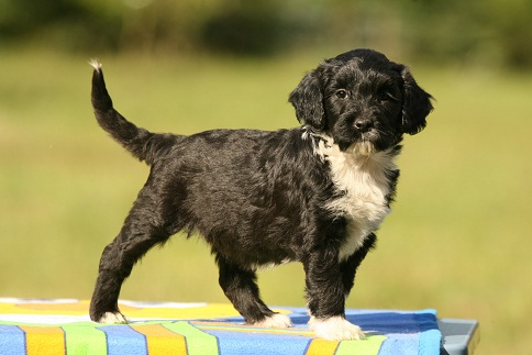 short haired portuguese water dog
