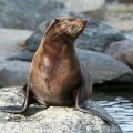 South african fur seal
