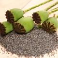 Turkish poppy pods