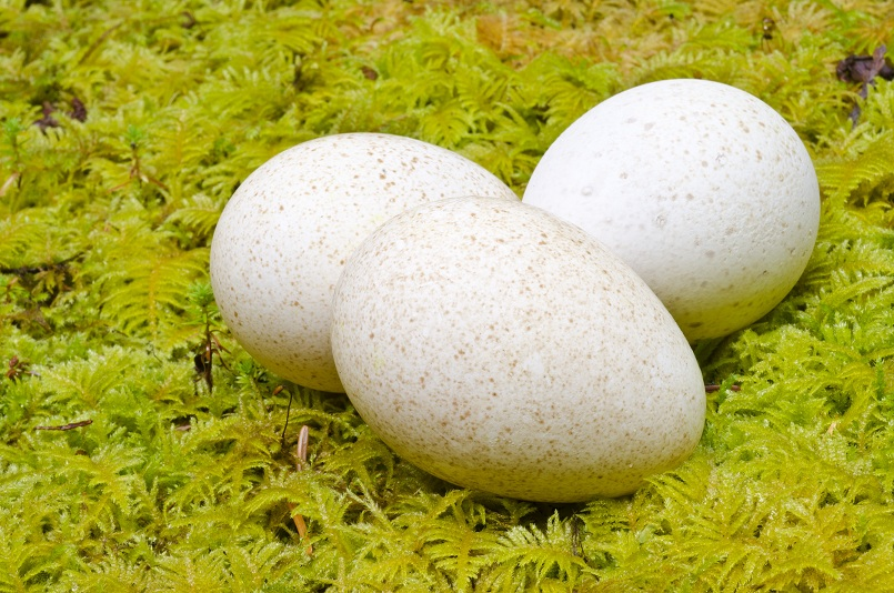 Turkey Eggs on Bed of Moss