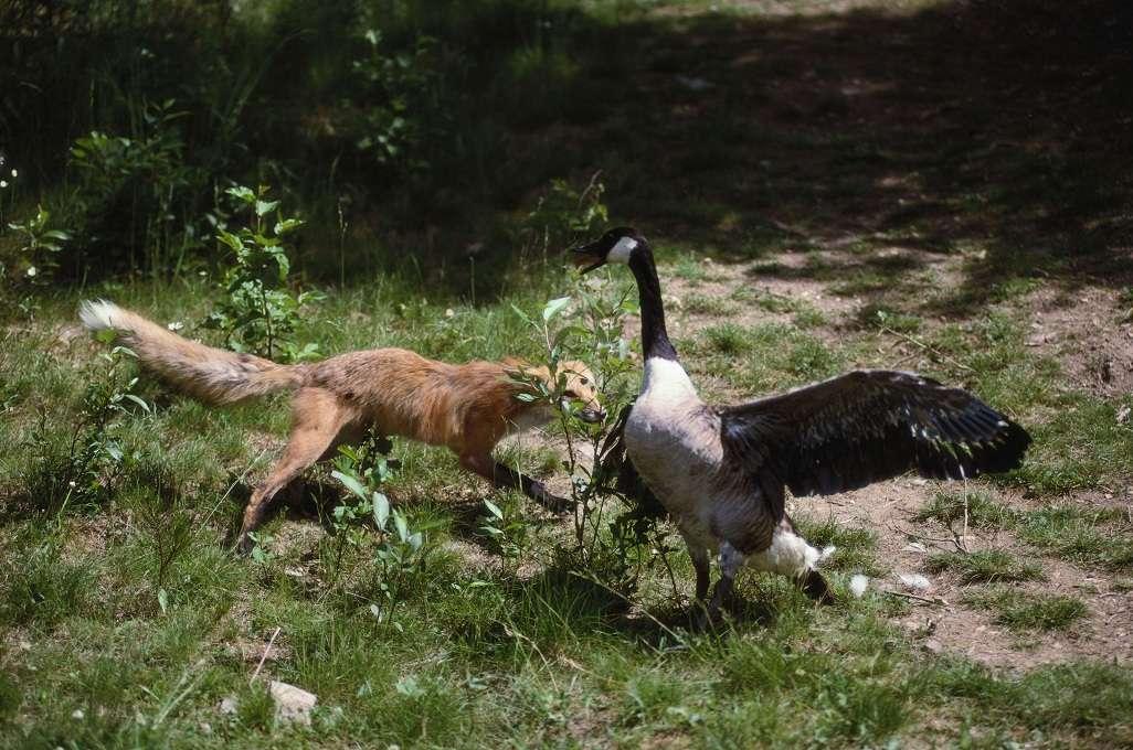 Fox attacking a goose