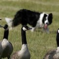 Canadian Geese Control