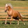 Palomino Peruvian Paso Horses2