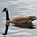 Canadian Geese Repellent