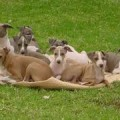 Italian Greyhound Temperament