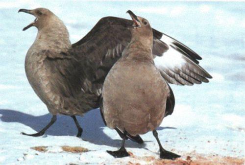 The Antarctic skua