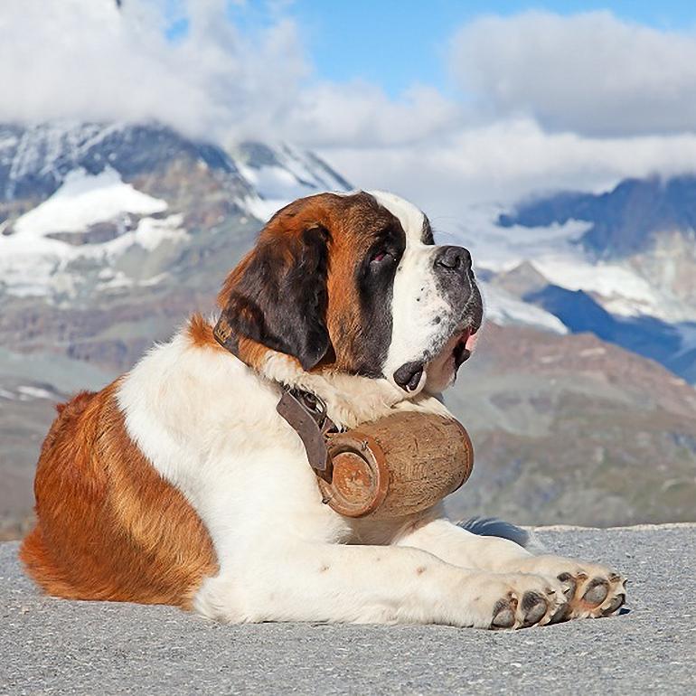 Greater Swiss Mountain Dog Breeders