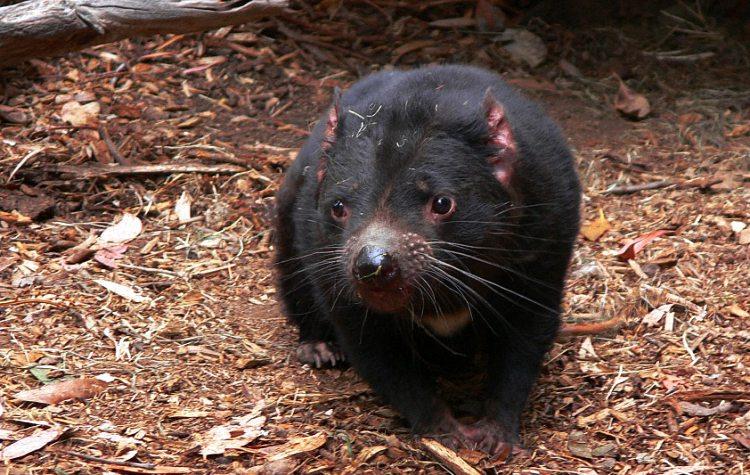 Australia's Tasmanian Devil